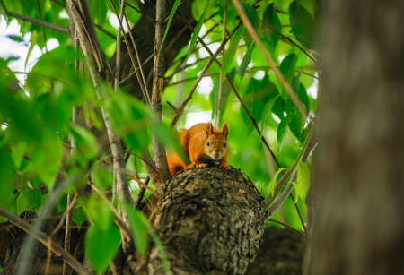 Squirrel redhead portrait on a greeen tree in summer. Banque d'images