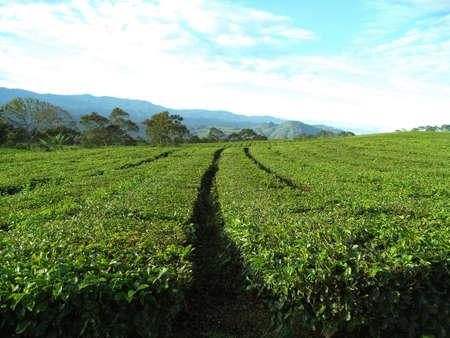 alam: tea garden pagar alam
