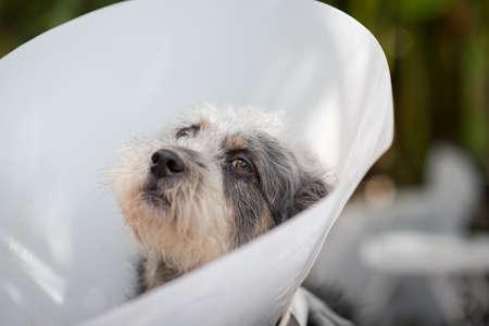 Close up  Sick dog wearing a Schnauzer collar
