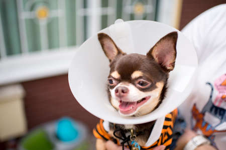 Sick dog,Chihuahua wearing a funnel collar
