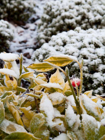 Wintery scene of a light dusting of snow on garden vegetation Stock Photo