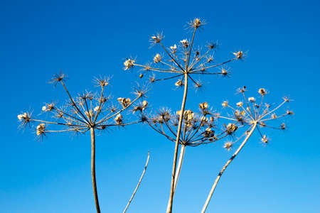 Giant Hogweed seed heads, the sap of the plant is phototoxic and causes phytophotodermatitis in humans, Latin name Heracleum mantegazzianum