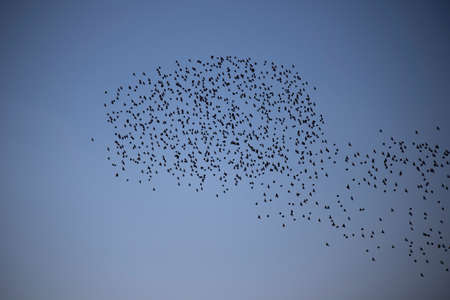 Flock of birds over farmland silhouetted against a clear sky