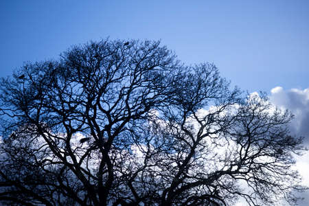 Silhouette of crows roosting in tree with the remnants of the previous season nests in the rural county of Hampshire Banco de Imagens