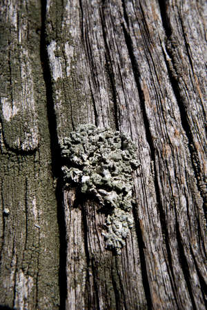 Foliose Lichen, a composite organism that arises from algae or cyanobacteria living among filaments of multiple fungi in a mutualistic relationship, shallow depth of field Stock Photo