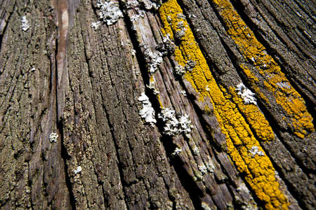 Xanthoria parietina Foliose Lichen, a composite organism that arises from algae or cyanobacteria living among filaments of multiple fungi in a mutualistic relationship