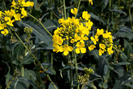 Rapeseed spring crop on farmland in rural Hampshire, member of the family Brassicaceae and cultivated mainly for its oil rich seed