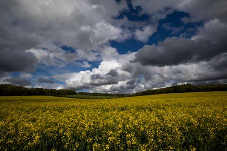 Rapeseed spring crop on farmland in rural Hampshire, member of the family Brassicaceae and cultivated mainly for its oil rich seed set against a dramatic cloudy sky Stockfoto