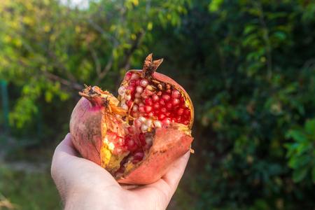 Pomegranate fruit in garden Stock Photo