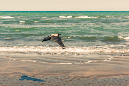 Crow in flight by the sea