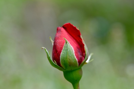 Rose bud beauty