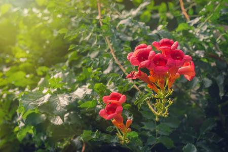 Trumpet Creeper Flamenco flowers in garden
