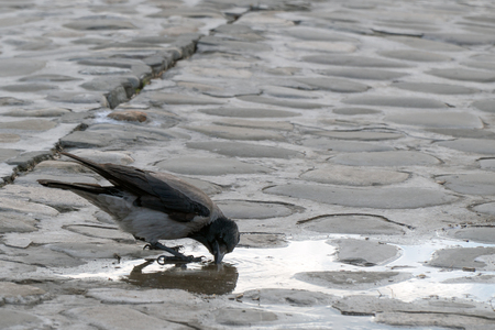 Crow drinks water from a puddle Stock Photo