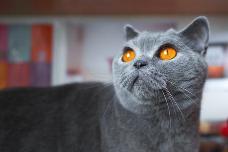 Young british shorthair cat portrait
