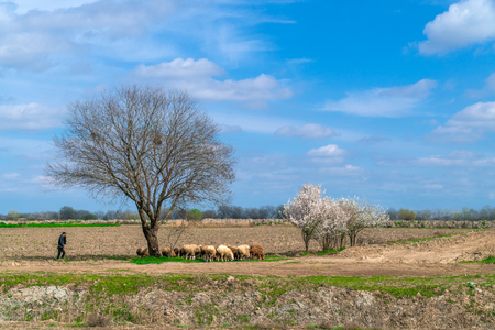 A flock of sheep on a farm field at spring