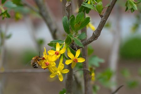 Bee pollinates currant flower in garden