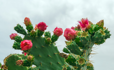 Opuntia cactus with flowers