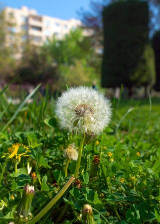 Dandelion flowers in a city park 免版税图像