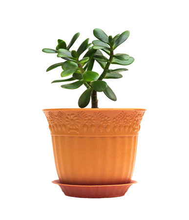 Crassula ovata jade homeplant money tree in brown pot isolated on white