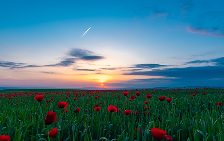 Field with blooming red poppies at sunset time Banque d'images