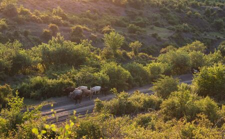 Herd of cows on a mountain dirt road 스톡 콘텐츠