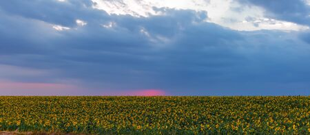 Blooming sunflower field at sunset time Stock Photo