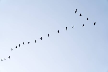 Bandada de aves migratorias en vuelo