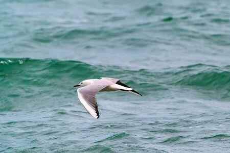 Large seagull bird in flight