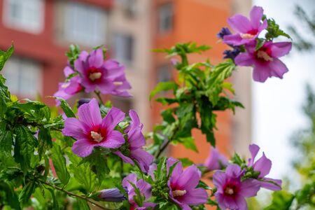 Wet hibiscus flowers after rain 版權商用圖片