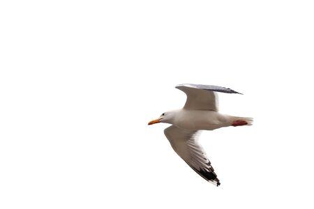 Large seagull bird isolated on white