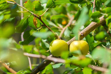 Ripping fruits of cherry plum on a branch