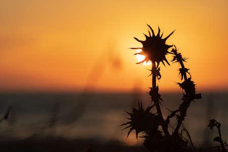 Dry thistle flower in the setting sun light