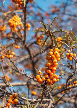 Sea buckthorn fruit on branch