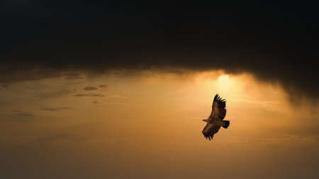 Eagle flying in dark sunset sky Archivio Fotografico