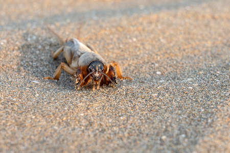 Mole cricket on the sand