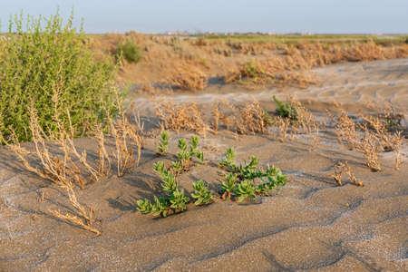 A lone green plant survived in a hot desert Standard-Bild