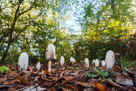 Coprinus comatus mushroom in autumn forest