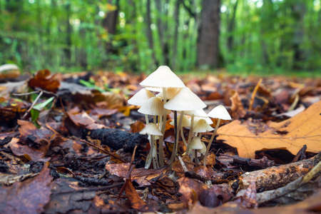 Mycena laevigata in the forest
