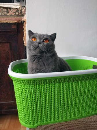 British shorthair cat in a basket Standard-Bild