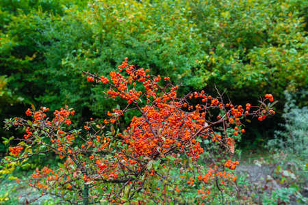 Pyracantha fruit on a branch