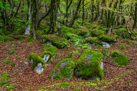 Mossy trees in a green mystical forest Standard-Bild