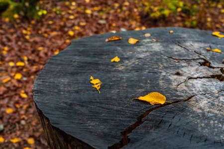 Yellow autumn leaves on tree stump