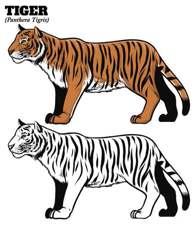 conjunto de dibujo a mano de tigre Ilustración de vector