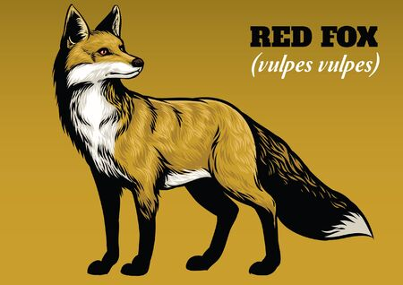 hand drawing of red fox Illustration