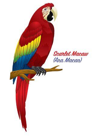scarlet macaw bird Illustration