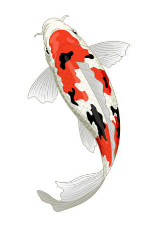 japan koi fish in sanke coloration Иллюстрация