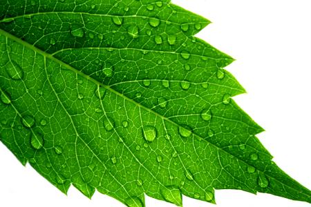 Macro shot of a fresh green leaf after rain Archivio Fotografico