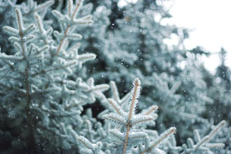 A close-up of a blue spruce branches under the snow. photo