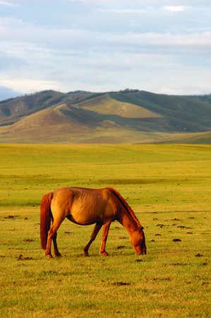 mongolia horse: Single horse on grasslands Stock Photo