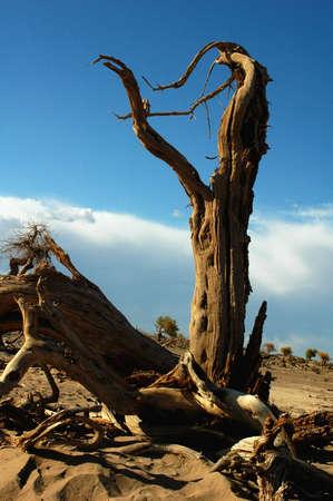 Landscape of dead tree trunks in the desert Stock Photo - 8518768